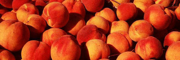 Freshly Harvested Peaches
